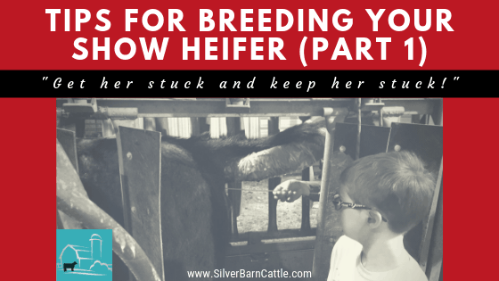 Tips for Breeding Your Show Heifers: Part I