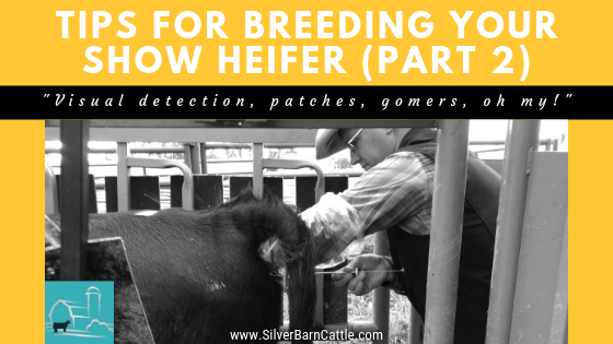 Tips for Breeding Your Show Heifer: Part II