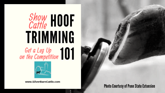 Show Cattle Hoof Trimming 101