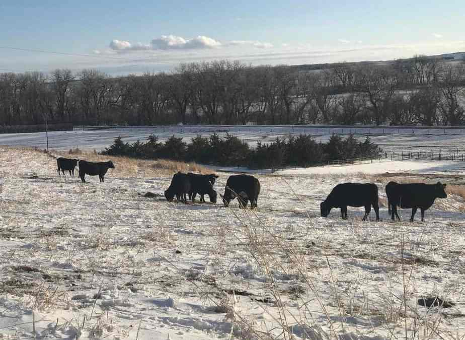 Eat More Meat | Silver Barn Cattle