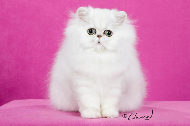 Regional Winner Hiba! chinchilla silver persian kitten