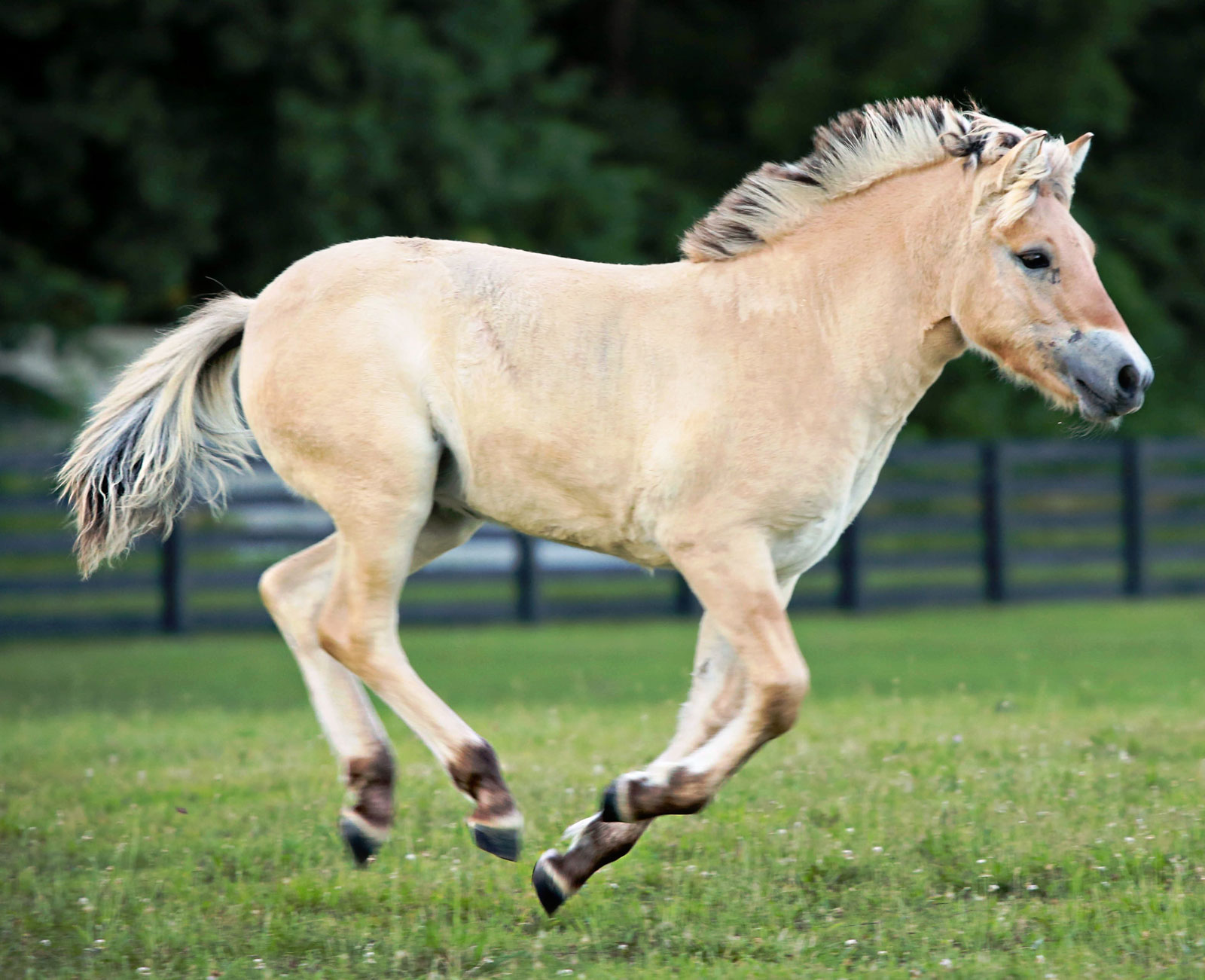 Norwegian Fjord Horse for Sale at Silver Drache Farm