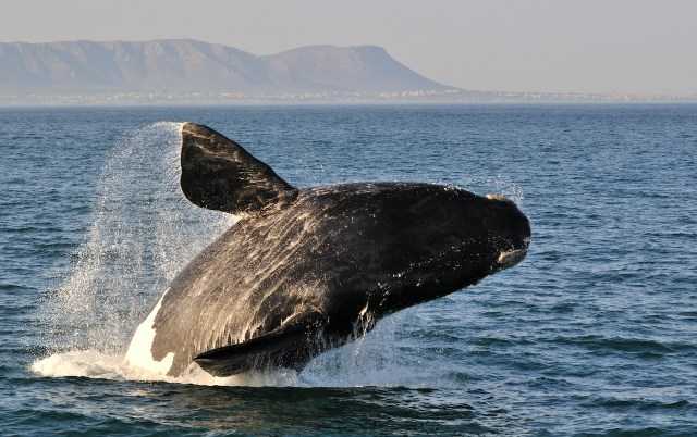 Whale breaching in Hermanus South Africa