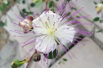Co to za roślina? 10 śródziemnomorskich okazów, które trzeba znać, cz. 2