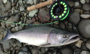 fly fishing, fly fishing bc, fly fishing vancouver, fly fishing fraser river, salmon fly fishing, salmon fly fishing bc, salmon fly fishing fraser river, salmon fly fishing canada, fly fishing guides, fly fishing trips, fly fishing trips vancouver, guided fly fishing, salmon fly fishing guides, pink salmon fly fishing