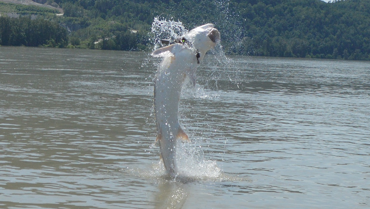 Sturgeon fishing trips packages fraser river canada for White river fishing guides