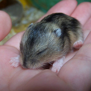 10 Falsos mitos sobre Hamsters