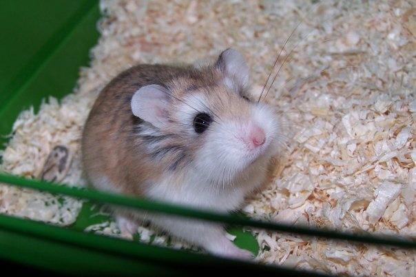 Un hamster roborowski no es un juguete.