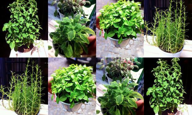 Le erbe aromatiche  Silvio Cicchi