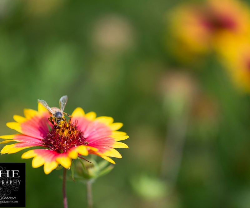 {day 151 project365 2015… getting pollen}