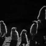 {day 170 project365 2016… rim lit meerkats}