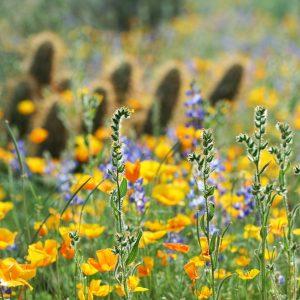 Spring at Picacho Peak State Park north of Tucson.