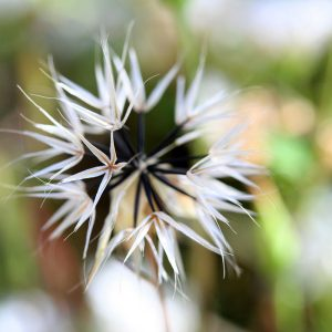 Desert dandelion seed head in the frontyard.