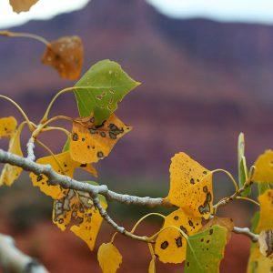 Autumn among cottonwoods in Professor Valley, Utah.