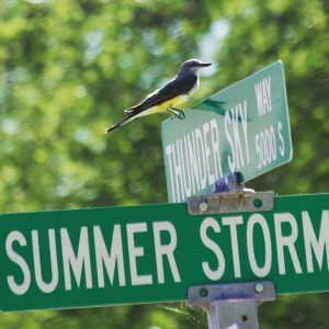 Western kingbird at Civano's intersection of Thunder Sky Way and Summer Storm Lane.