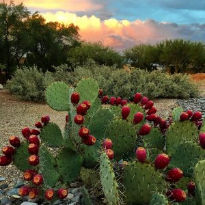 Prickly pear with fruit and monsoon clouds viewed from Civano.