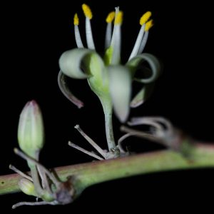 Evening walk agave bloom.