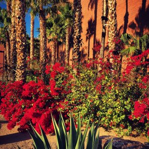 Agave, bougainvillea, and palms at Harvill Hall on the UA campus.