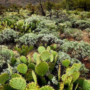 Early spring greens at Saguaro National Park East: prickly pear and brittlebush.