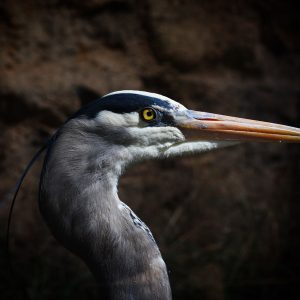 Great blue heron at the Arizona-Sonora Desert Museum.