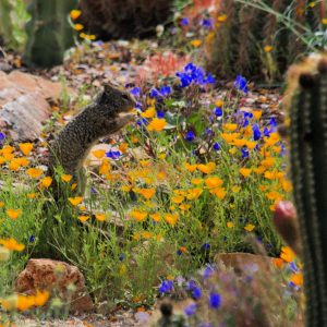 Ground squirrel checking out the bluebells and poppies of the Arizona-Sonora Desert Museum cactus garden.