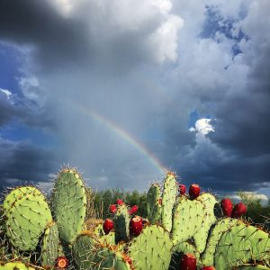 Rainbow above prickly pear southeast of Tucson.