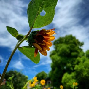 Sunflower in Davis, California.