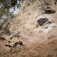 Warthog chases wild dog