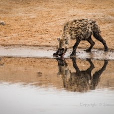 Spotted hyena drinking at waterhole