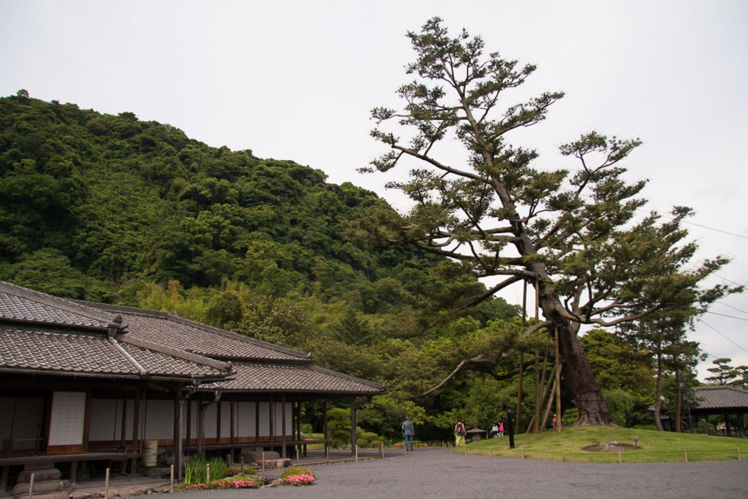 Yakushima White Pine Tree
