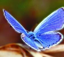 farfalla-azzurra