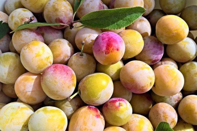 Mirabelles (pour mendiant Steiner) Pixabay yellow-plums-4423246_1280