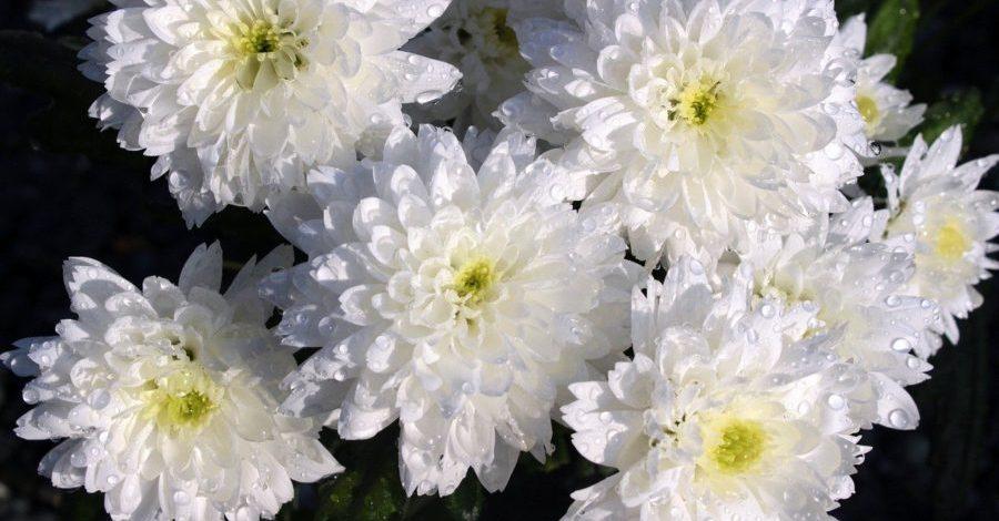 chrysanthèmes Image par Myriams-Fotos de Pixabay