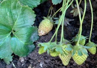 fraises vertes janvier