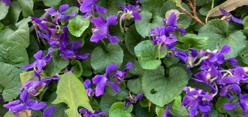 Violettes Martine Sebille (alpes maritimes.