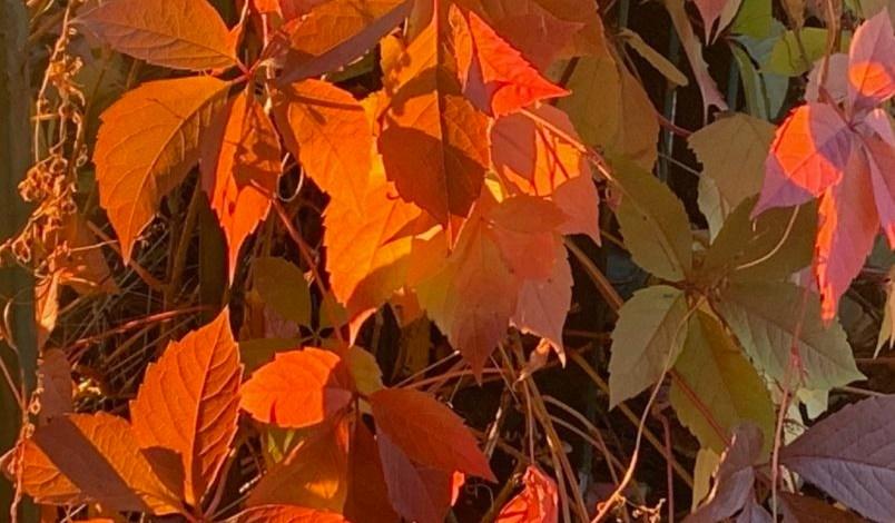 feuilles automne rouge feu