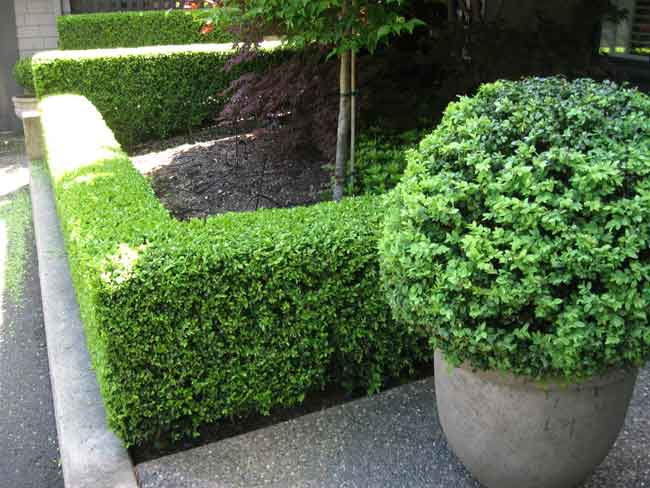 3 Trim Your Boxwood via simphome
