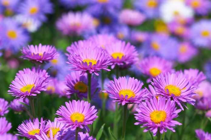 8.Colorful Lavander Garden Project by Simphome.com 1