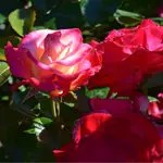 Rose Garden with Pink Rose