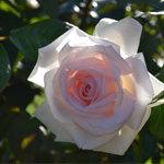 Rose Garden in Portland White Rose