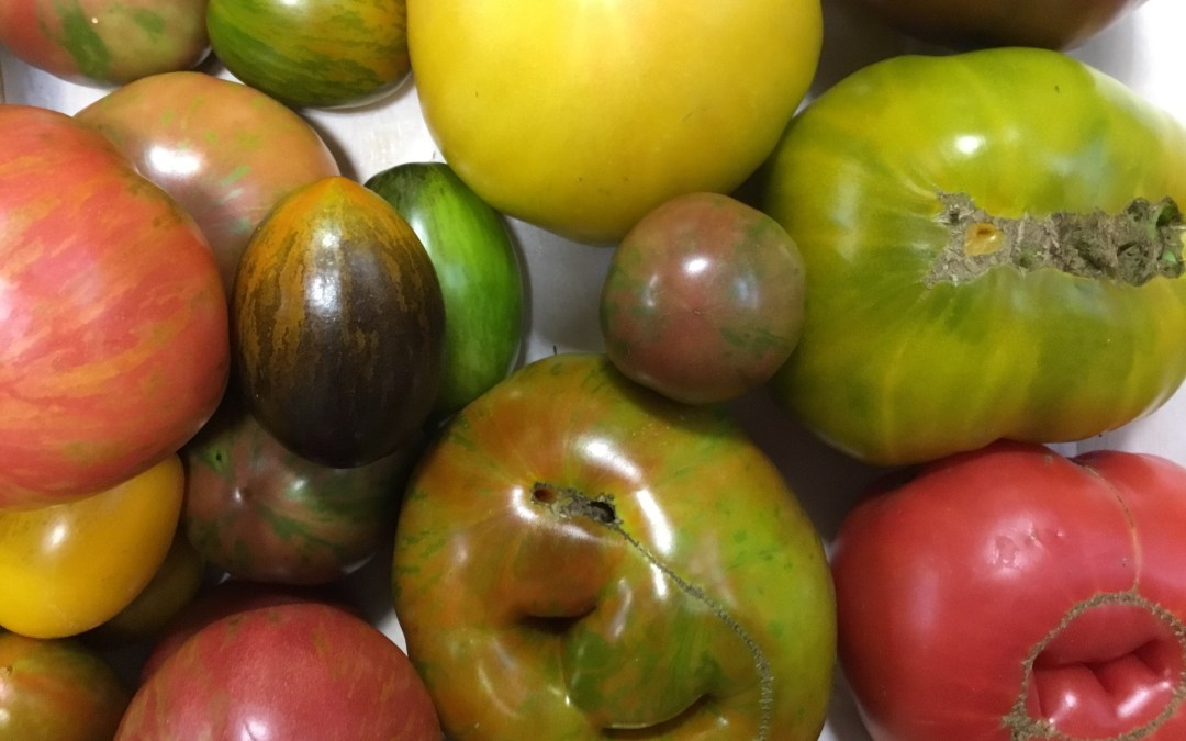 Keeping the fun in growing heirloom tomatoes
