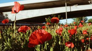 092817_Poppies