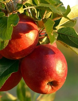 Apple Harvest Scent