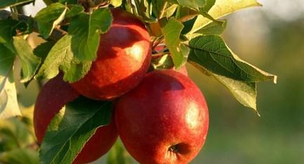 Apple Harvest Scent