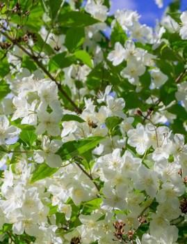 Honeysuckle Jasmine Scent