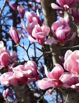 Pink Magnolia Blossom Scent