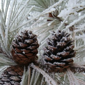 Frosted Pinecones