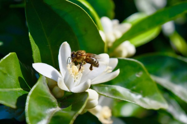 Bee pollinating Orange Blossoms