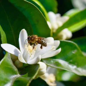 Bee pollinating Orange Blossoms