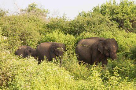 Udawalawe_National_Park